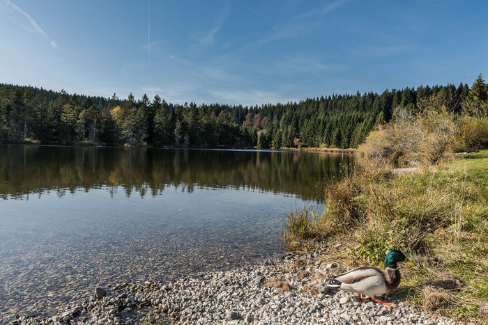 Allgäu Bäume Deutschland Erpel Eschacher Weiher Herbst Himmel Keine Menschen Ufer Vogel Bayern Ente Reflektion See Steine Teich Wald