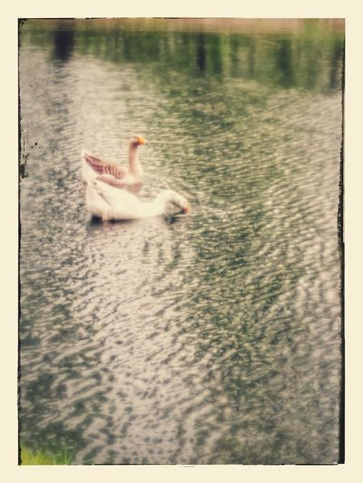 koppel zwanen Animal Themes Swan Leopoldsburg Belgium. Belgique. Belgie. Belgien. Etc.