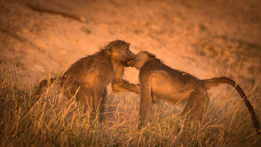 KISS ME, STUPID! Animal Hair Animals Animals In The Wild Baboon Field Funny FUNNY ANIMALS Funny Pics Game Kiss Light Monkeys Nature No People Non-urban Scene Playing Safari Animals Sunset Sunset_collection Wildlife
