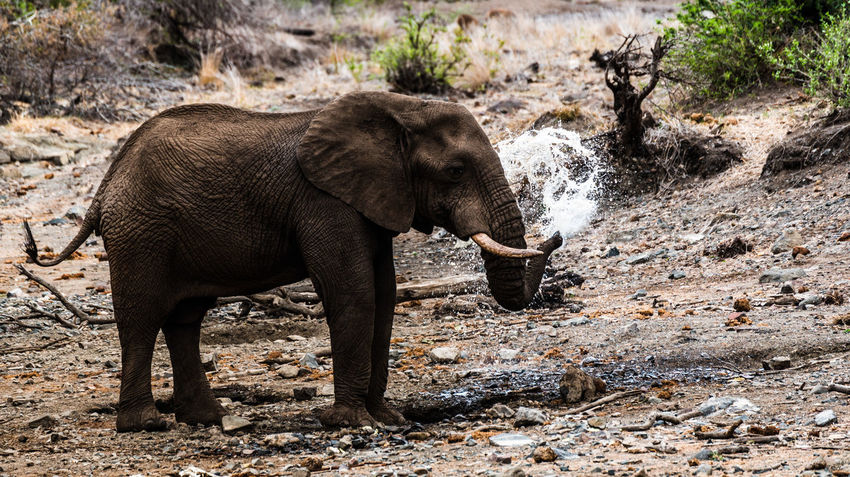 African Elephant Animal Animal Themes Animal Wildlife Animals In The Wild Day Elephant Krüger National Park  Mammal Nature No People One Animal Outdoors South Africa