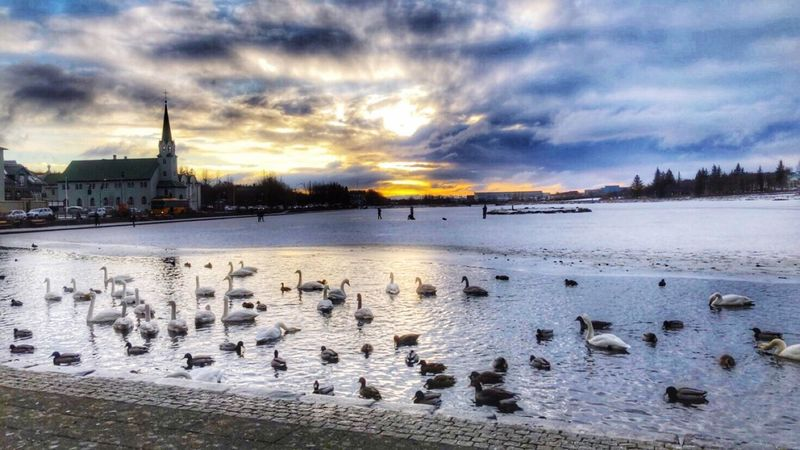 Tjörnin - The Pond downtown Reykjavík, Iceland Large Group Of Animals Sky Cloud - Sky Water Nature Animal Themes Cold Temperature Lake Animals In The Wild Winter Outdoors Flock Of Birds Bird No People Beauty In Nature Building Exterior Animal Wildlife Sunset Architecture Built Structure Reykjavik Iceland Tjörnin Swans Ducks