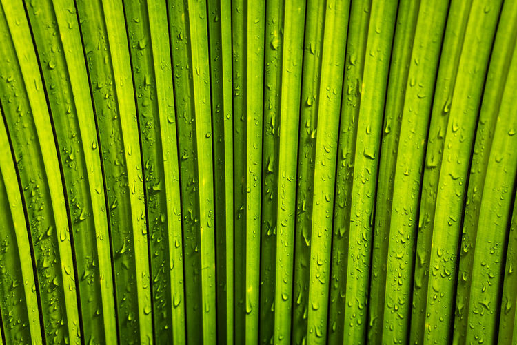 Water droplets on the large leaf of a White Elephant Palm or King Thai Palm plant (kerriodoxa elegans) Green King Thai Palm Nature Palm Palm Tree Plant Water Droplets White Elephant Palm Abstract Beauty In Nature Botany Close-up Freshness Full Frame Green Color Kerriodoxa Elegans Leaf Leaves Natural Pattern Nature Palm Leaf Palm Tree Pattern Plant Tropical Plants