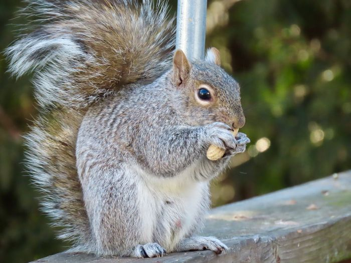 Squirrel closeup animal themes Birds of EyeEm beauty in nature animal themes One Animal Animals In The Wild Close-up No People