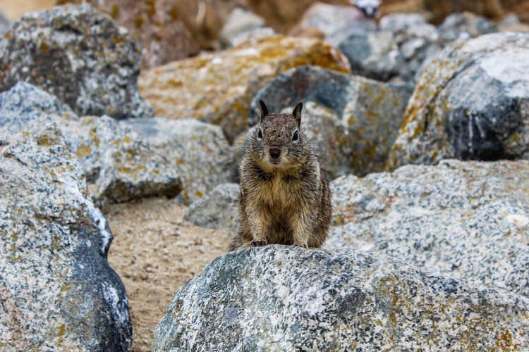 Close-up portrait of squirrel on rock