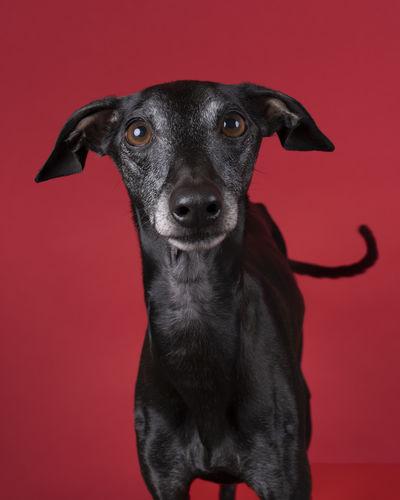 Portrait of black dog against red background