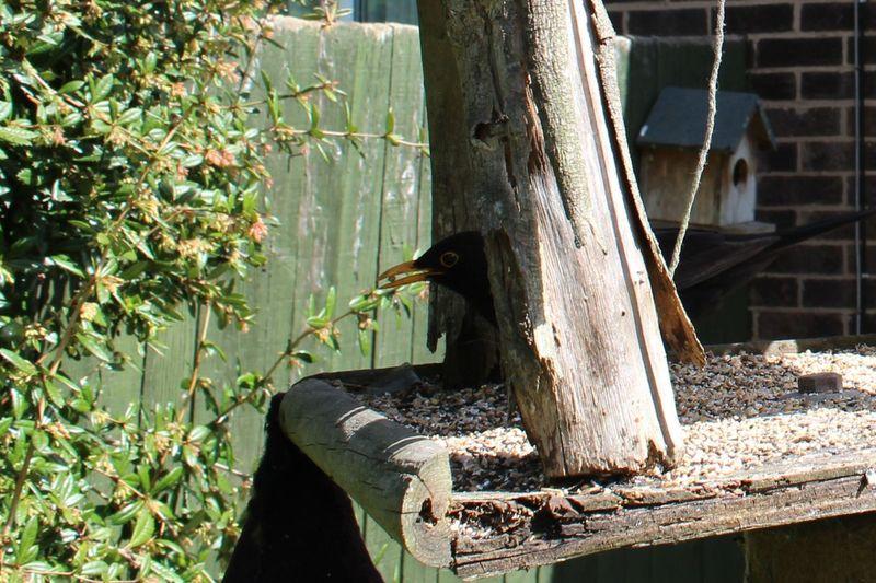 Bird Bird Photography Bird Seed Black Bird Garden Garden Birds One Animal Ornothology Outdoors
