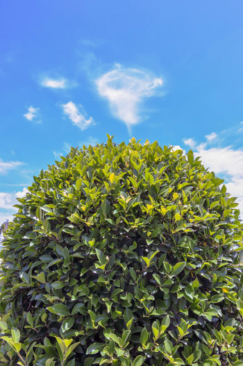 Green bush isolated on blue sky and beautiful clouds in the garden. Agriculture Archival Beautiful, Serene Beauty In Nature Blue Close-up Clouds Day Freshness Green Color Growth Landscape Leaf Low Angle View Nature No People Outdoors Sky Tree