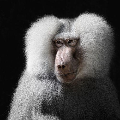 Zoo Berlin Animal Head  Animal Themes Animals In The Wild Ape Baboon Portrait Close-up Mammal Monkey Nature One Animal Portrait Primate