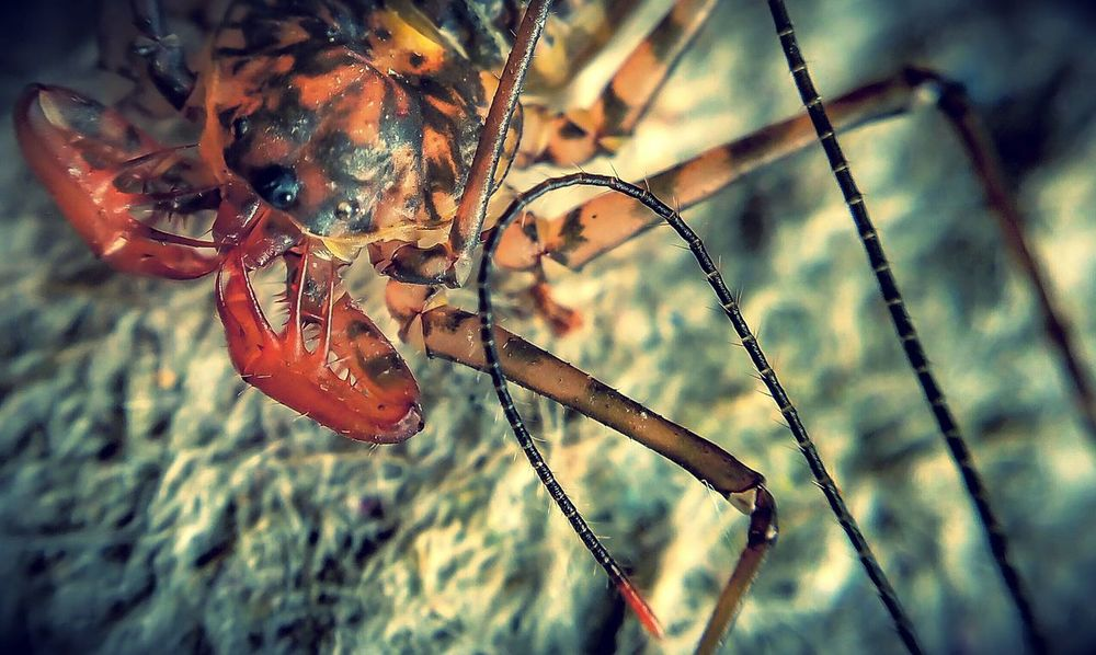it was soooo hard to get the whip in focus....it was in constant motion. Attack Of The Macro Collection! Insect Paparazzi Bug Portrait Arachnophobia Macro Addict Macro_collection EyeEm Macro Spider Portrait Macro Spider Spiderworld Spiderama Spiderland Close-up Macro Photography One Animal Nature Spider Eyes