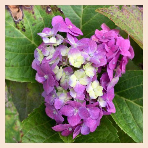 Kind of look's like a heart 💜🌸💜 Heart Flower Loveintheflowers💜 Hydrangea Asign Tranquility Beautiful 💜🌸💜