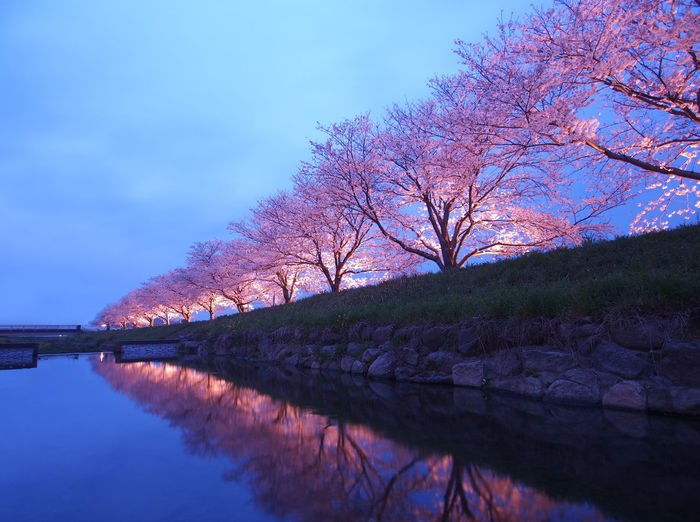 Cherry blossom trees in a row Beauty In Nature Blue Branch Bridge - Man Made Structure Canal Cherry Blossoms Cherry Blossoms At Night In A Row Japan Japanese Culture Nature Reflection Reflection Scenics Sky Tranquil Scene Tranquility Travel Destinations Tree Tree Twilight Water Waterfront ın A Row