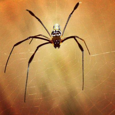 Menunggu mangsa. Spider Spiderworld Loves_insect Ig_spider instagaruda_macro greatshoot greatmacro va_macro macro_spotlight macro_x labalaba lancah