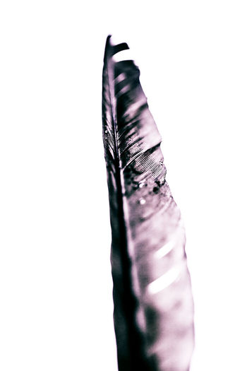 Close-up Cropped Cut Out Feather  Nature Outdoors Part Of Studio Shot White Background