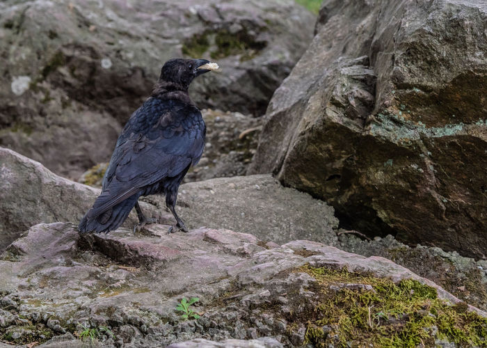 crow with food