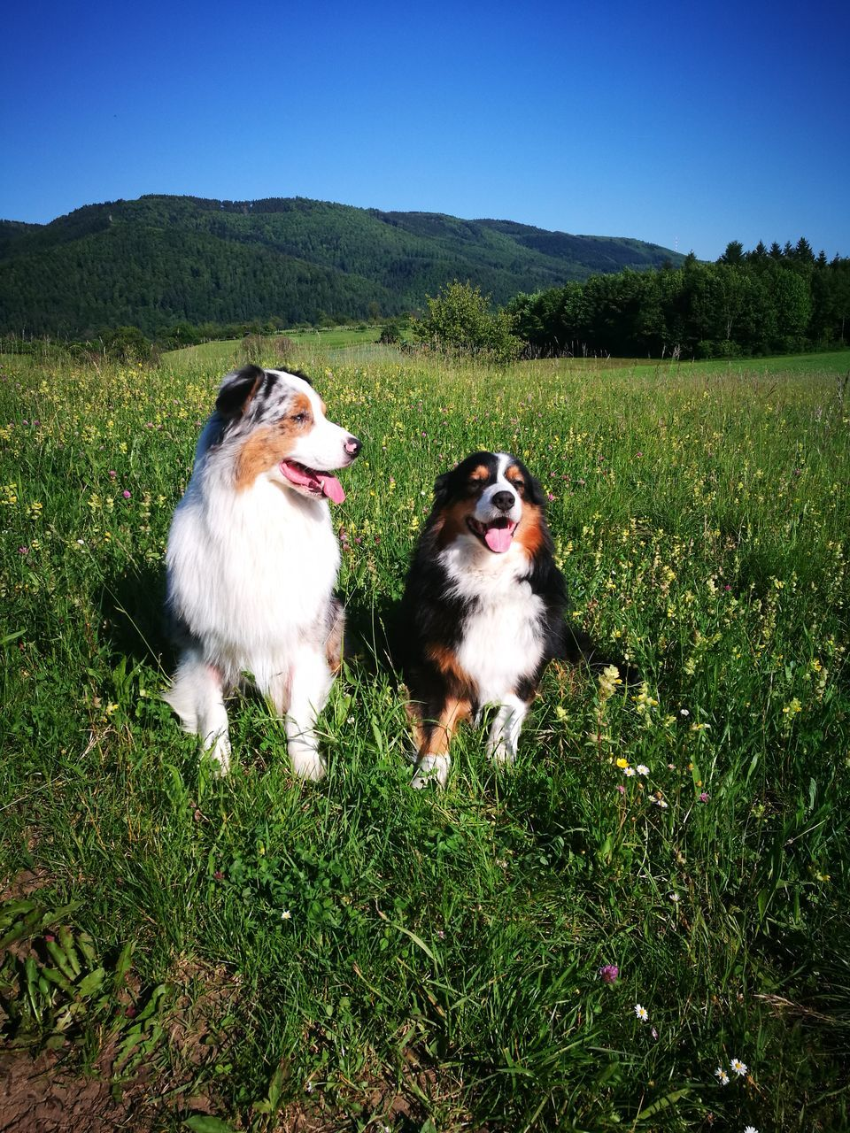 dog, domestic animals, pets, field, nature, animal themes, mammal, growth, grass, no people, outdoors, day, beauty in nature, landscape, clear sky, sky