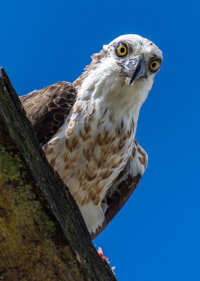 Close-up of a bird against clear blue sky