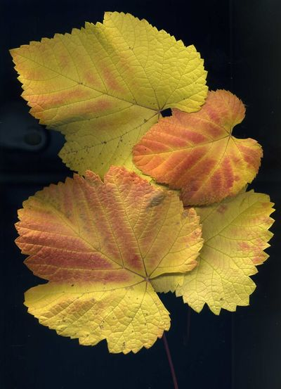 Autumn Beauty In Nature Black Background Close-up Day Fragility Freshness Growth Leaf Maple Nature No People Outdoors Water Weinblätter Wine