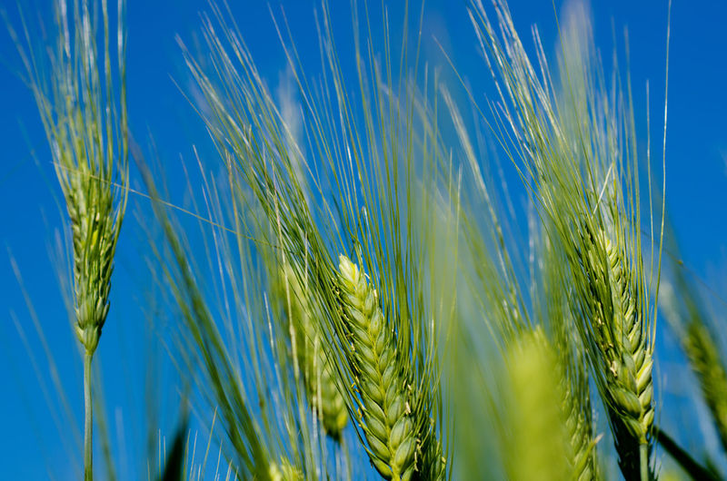 Wheat Against Blue Sky Sunny Agriculture Beauty In Nature Blue Cereal Plant Close-up Crop  Day Ear Of Wheat Farm Green Color Growth Land Nature No People Outdoors Plant Rural Scene Sky Tranquility Wheat