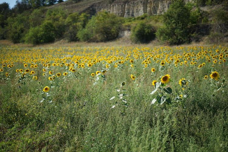 Yellow flowers growing on field