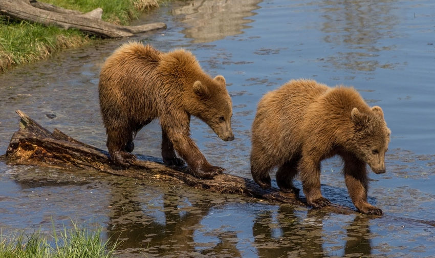 Close-up of grizzly bears standing on wood in lake