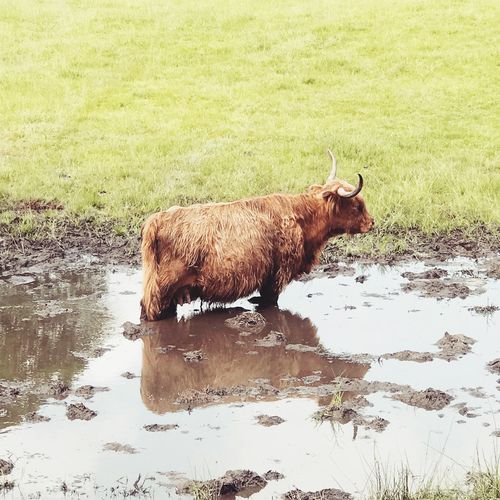 Highland Cow 🏴❤️ Mud Reflection Puddle Highland Cows Highland Cattle Highland Scotland Animal Animal Themes Mammal Water One Animal Vertebrate Nature Lake Day Side View Animal Wildlife Animals In The Wild Reflection Domestic Animals Pets Waterfront Standing My Best Photo British Culture