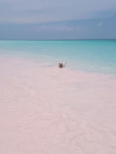 Pink Sand Pink Turquoise Colored Turquoise Turquoise Water Dog Bath Dog In Water Labrador Bahamas Rose Quartz Water Sea Beach Blue Relaxation Sand Tropical Climate Sky Horizon Over Water Seascape Turquoise Colored Ocean Island Scenics Caribbean Sea Tranquil Scene