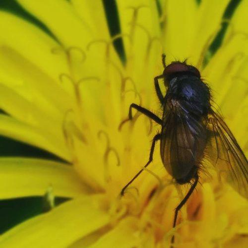 Photo Macrophotography Macro Phone Asuszenfone Nature Dandelion Fly Beautifully  Yellow Spring Water Raindrops макросъемка каплидождя одуванчик муханацветке весна