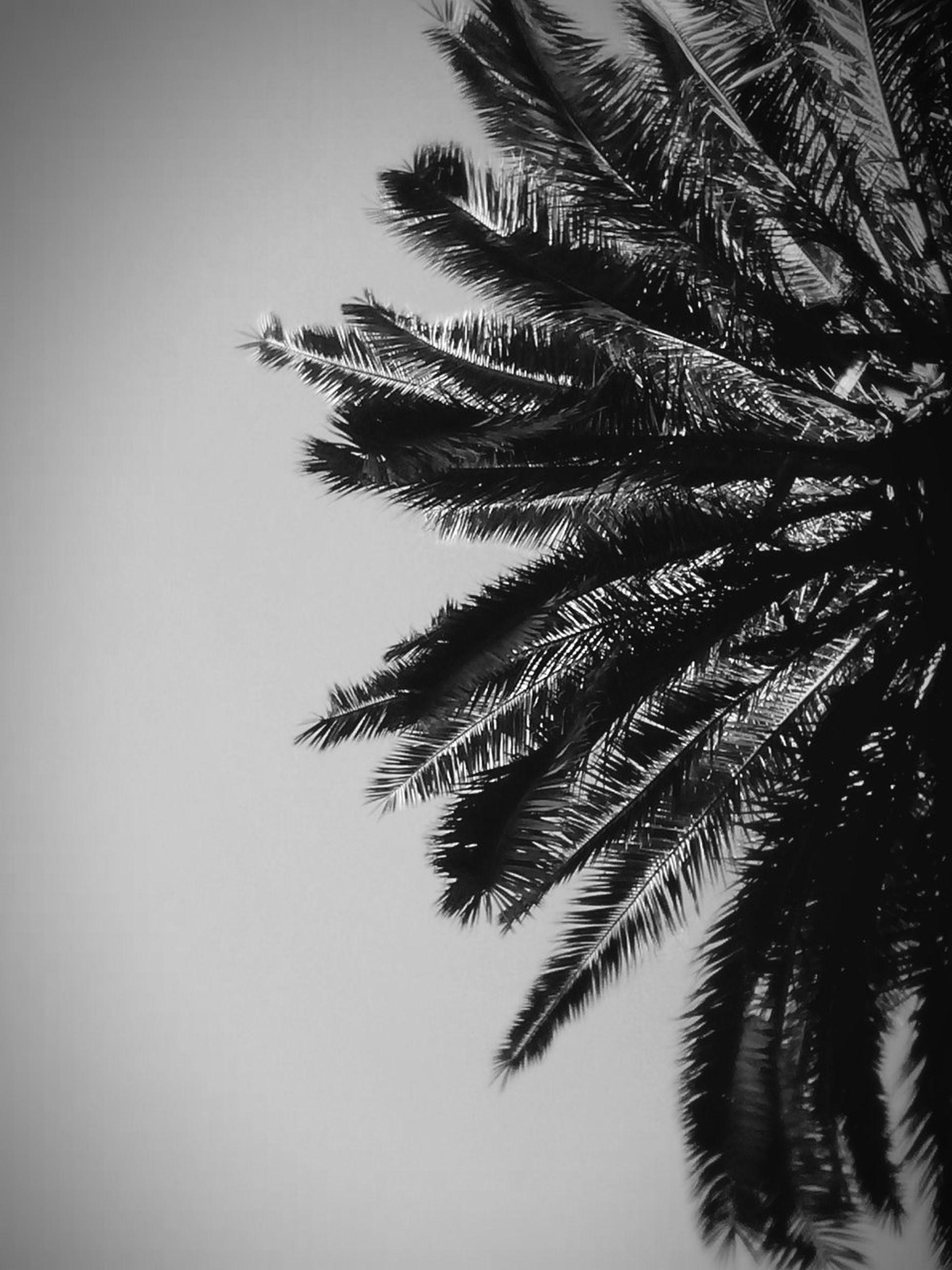 tree, nature, no people, close-up, tranquility, branch, palm tree, indoors, beauty in nature, day, white background, sky