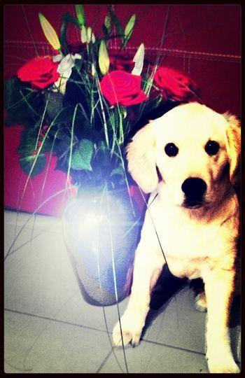 Mydog♡ Golden Retriever EyeEm Flower
