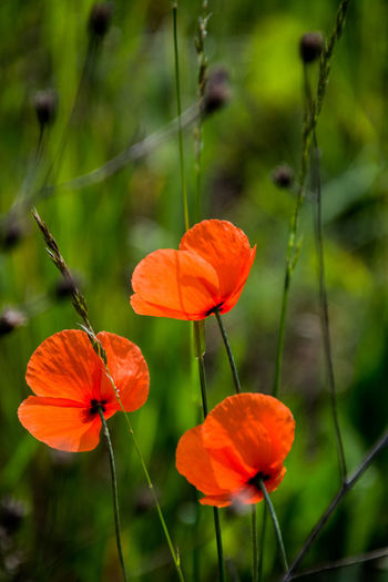 Fragility Flowering Plant Plant Flower Vulnerability  Beauty In Nature Inflorescence Flower Head Growth Petal Focus On Foreground Close-up Freshness Orange Color Plant Stem Nature Poppy No People Day Outdoors Orange Pollen