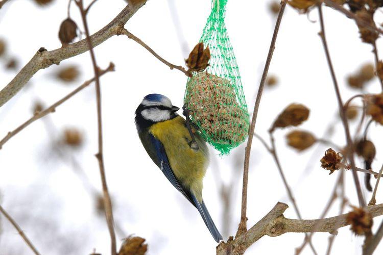 Bluetit perching on bird feeder