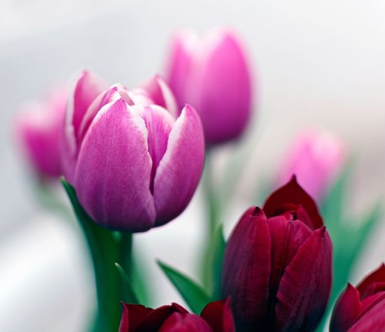 Tulips🌷 Tulips Flowers Flower Head Flower Pink Color Red Petal Beauty Close-up Plant Peony  Tulip Hyacinth Plant Bulb Daffodil Bud In Bloom Blossom Crocus Plant Life Stamen Botany Flowering Plant Pistil Lily Tropical Flower Focus Magnolia Summer Exploratorium Passion Flower