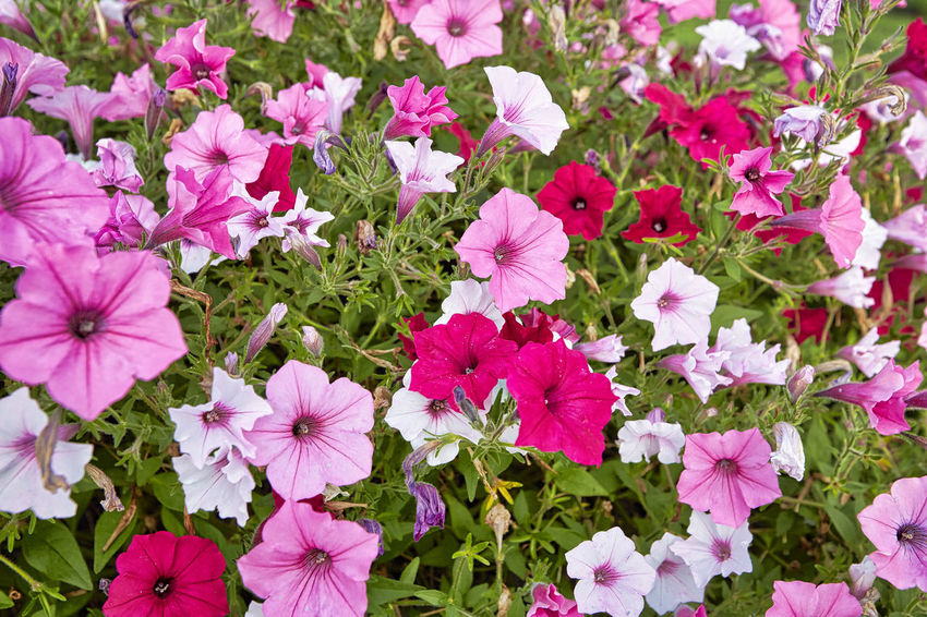 Beauty In Nature Close-up Day Flower Flower Head Flowerbed Flowering Plant Fragility Freshness Growth High Angle View Inflorescence Leaf Nature No People Outdoors Petal Petunia Pink Color Plant Plant Part Purple Springtime Vulnerability