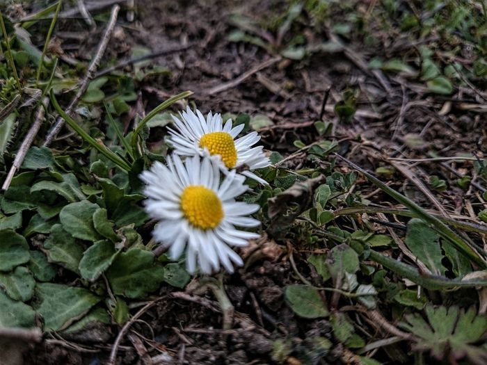 Daisy Beauty In Nature Daisy Daisy Flower Flower Flower Head Nature No People Outdoors Papatya Plant Pollen