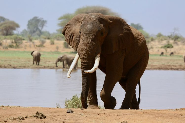 Elephant standing on landscape against clear sky