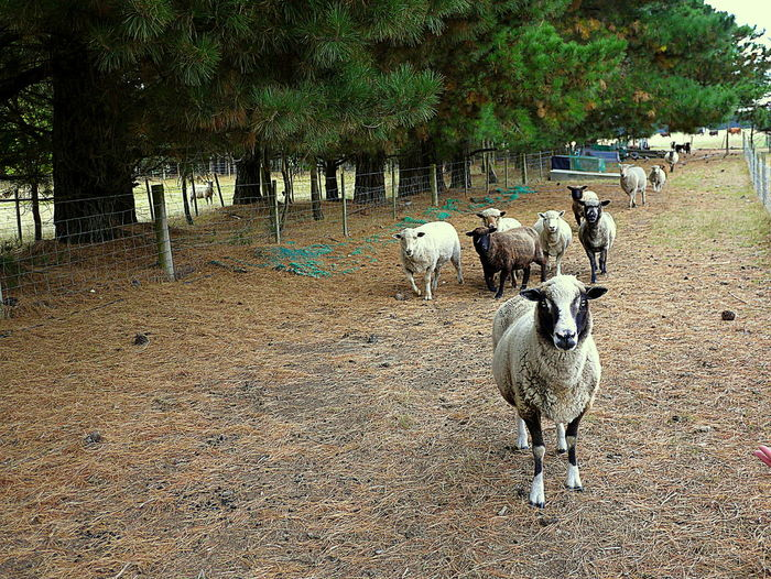 Black Face Farm Farm Animals Feeding Time Fence No People Pine Trees Sheep Variety Of Breed