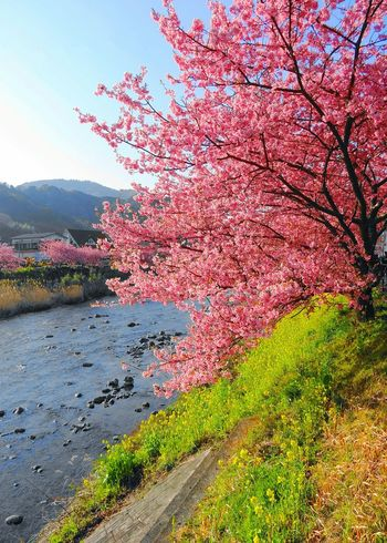 The Kawazu cherry tree Tree Beauty In Nature Cherry Blossoms Nature Sakura Nanohana Spring Flowers Canola Flowers