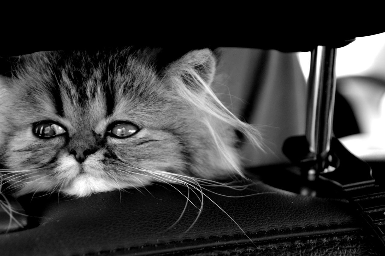 domestic cat, pets, domestic animals, feline, whisker, animal themes, one animal, mammal, indoors, close-up, looking at camera, portrait, no people, day, persian cat