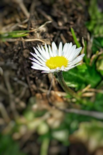 2017, my first daisy 🌼 Daisy Flower Nature Growth Flower Head Beauty In Nature Fragility Freshness Petal Plant Close-up Outdoors Blooming Pollen Passion Flower No People Day EyeEm Nature Lover EyeEm Flower Lovers White Flower I Love Nature For The Love Of Photography I LOVE PHOTOGRAPHY
