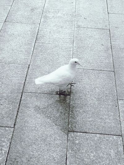 Dove Blackandwhite Pigeon