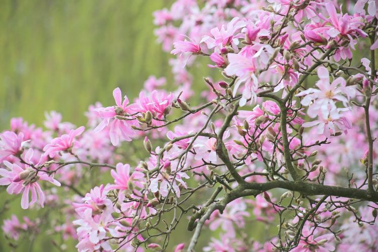 Magnolia Tree Close-up Magnolias Blooming Cloud - Sky Growth Springtime Pink Color Scenics Magnolienknospe Blossom Magnolia Loebneri Nature Plant Magnolia Stellata Spa Wellness Zen Almond Tree Beauty In Nature Freshness Fragility Branch Landscape