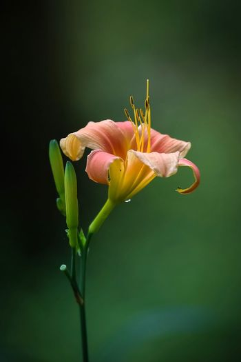 Close-up of pink lily flowers