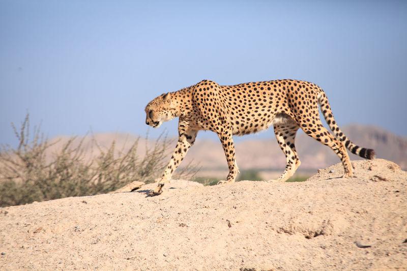 Side view of cheetah walking outdoors