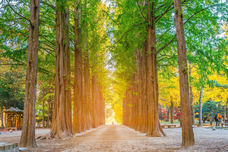 Row of green trees in Nami Island, Korea. Beauty In Nature Day Diminishing Perspective Direction Environment Footpath Forest Land Landscape Nature No People Outdoors Plant Road Scenics - Nature The Way Forward Tranquil Scene Tranquility Tree Tree Canopy  Tree Trunk Treelined Trunk WoodLand