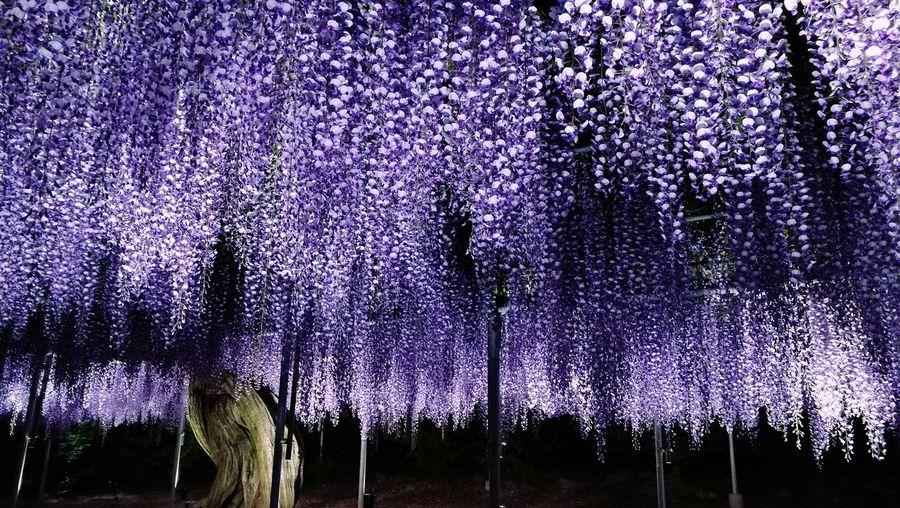 Tree Purple No