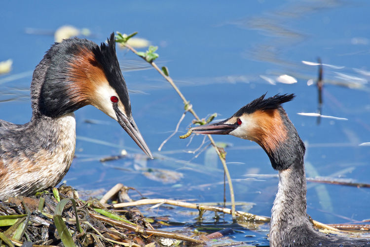 Great crested grebe Great Crested Grebe, Podiceps Cristatus A Couple Animal Photography Animal Themes Animal Wildlife Beauty In Nature Daylight Photography Food In The Beak Nest No People One Bird On The Nest Togerherness Two Animals Water Water Bird