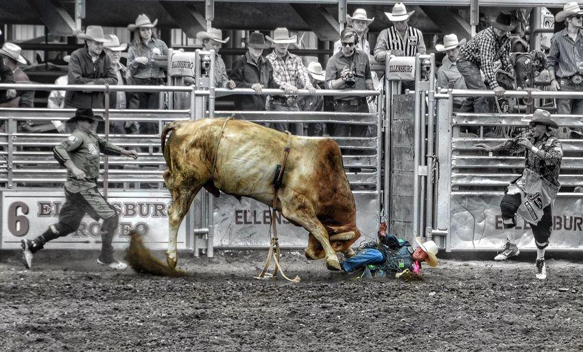 One Animal Cowboys Washington Ellensburg Rodeo Cattle Livestock Rodeo Nikon D3100