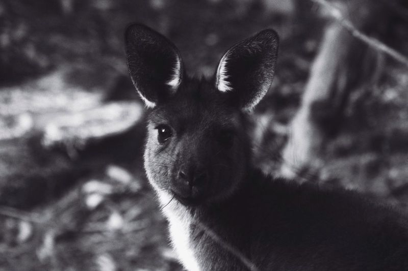 Mambray joey b&w Animal Themes One Animal Mammal Animals In The Wild Portrait Animal Wildlife Looking At Camera Focus On Foreground No People Young Animal Day Outdoors Close-up Nature Kangaroo Joey Australia Travel Destinations Black And White Fragility Pure Nature