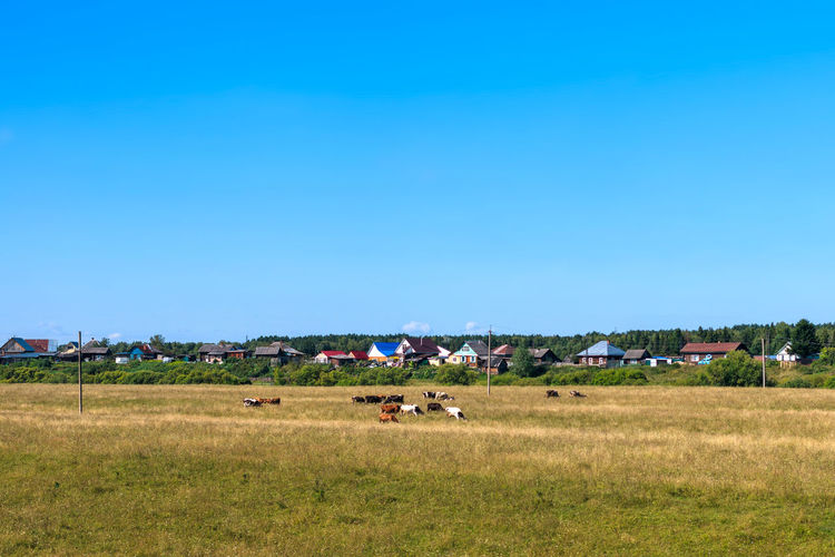 Siberian countryside Landscape Environment Land Sky Field Grass Blue Group Of Animals Domestic Animals Agriculture Rural Scene No People Day Outdoors Herbivorous Herd Cows Cows In A Field Pasture Animal Animal Themes Village Life Siberia Siberia, Russia