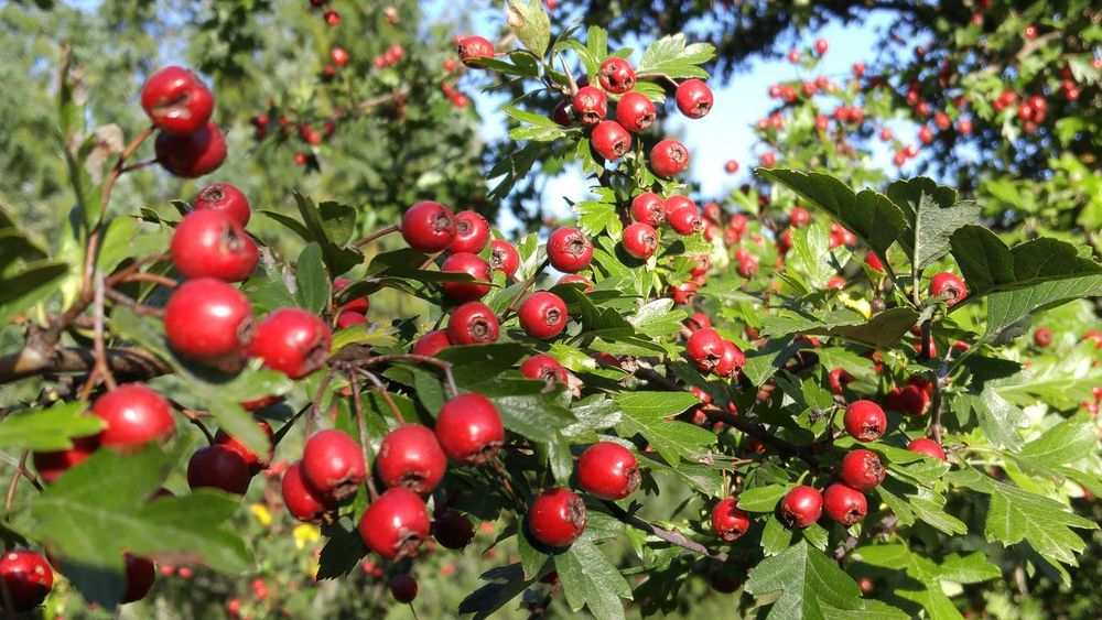 Hawthorne Red Vibrant Color Tree Berries Fall Color